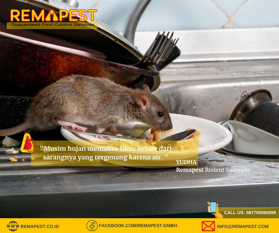Basmi tikus dengan cara tepat